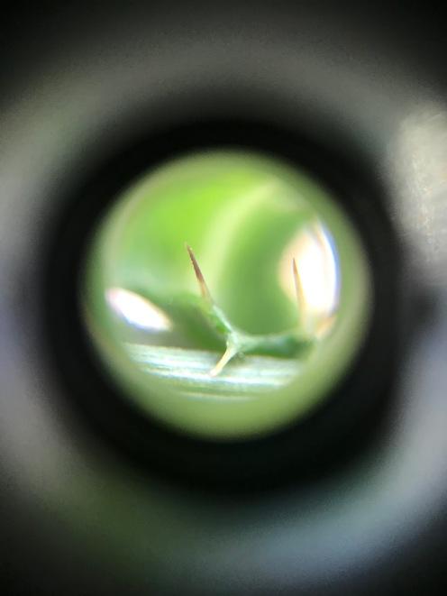 leaf thorn 3 IMG_6045